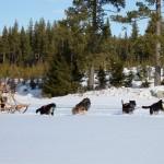 A Snököra hundar i Haga 016