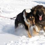 A Snököra hundar i Haga 024