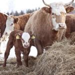 Ko och kalv vinter