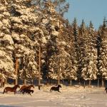 Unghästar i snöyra