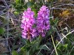Orkidéer på alvaret