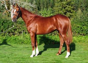 Xanthis Cowboy, såld på Kriterieauktionen 2015 för 150 000 kr.