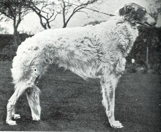 Ch Ramsden Rajah (e. Ch Ramsden Ranger u. Ch Miss Piostri) Vann houndgruppen på Crufts 1910!