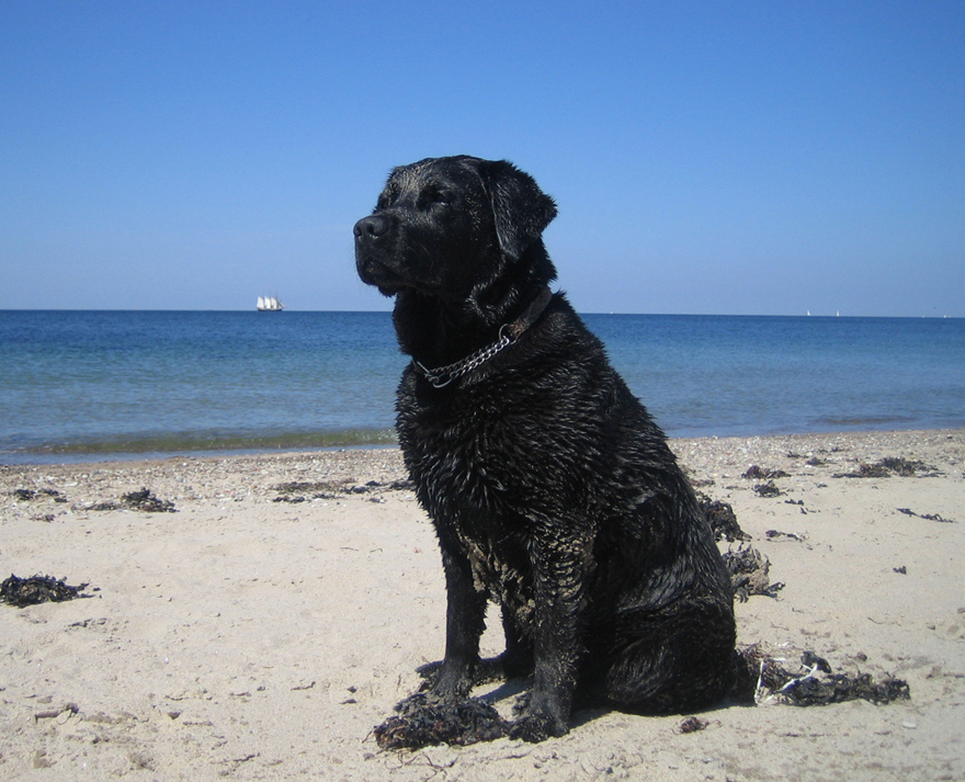 En trygg flockledare får en trygg hund! Sandig svart labrador på stranden uppmärksam på vad vi vill härnäst.