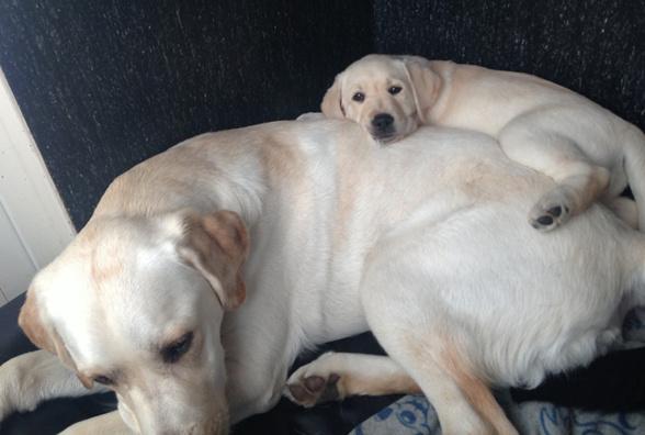 Gul labbevalp älskar att ligga uppe på ryggen på stor labradorhane.