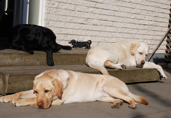 Tre vilande labradorer på vår trappa visa konsten att koppla av.