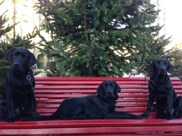 Tre labbebröder vilar på en bänk mitt i stan.