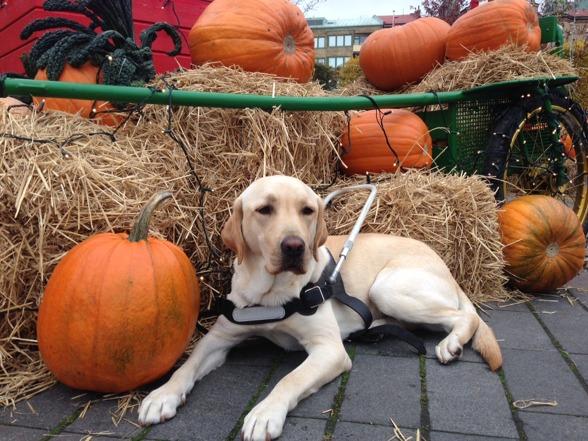 Kato ligger bland pumporna innan avfärden till Norge där han snart ska börja jobba som ledarhund. En fantastisk hund som kommer att vara saknad, inte minst av barnen.
