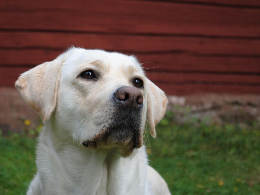 Labradoren Keela har kommit till vårt gäng i DISA. Nu väntar test och förhoppningsvis träning till ledarhund!