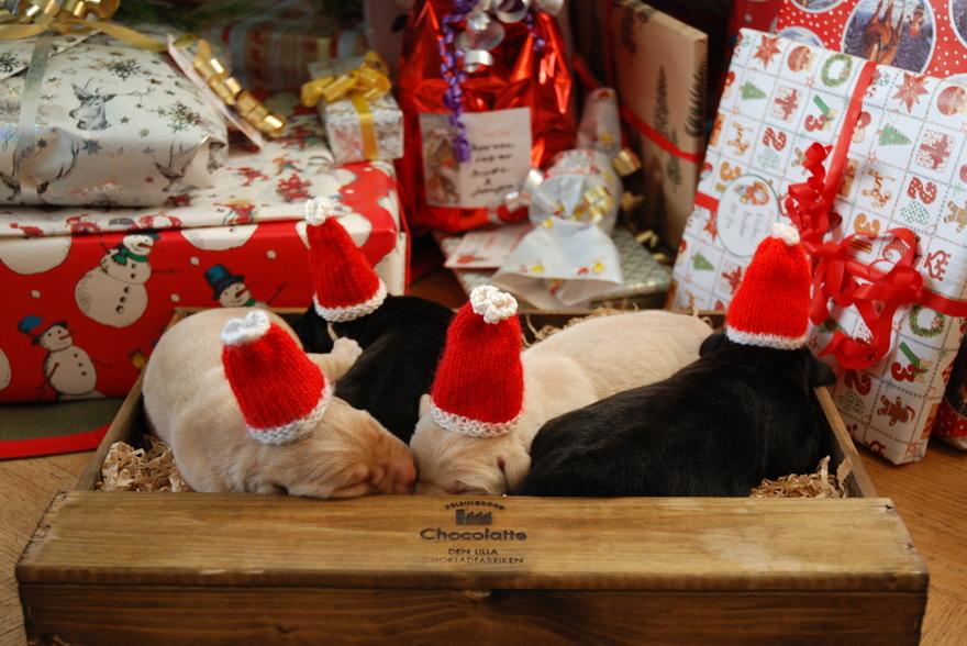 På DISA har fyra labradorvalpar fötts på 4e advent. Life is like a box full of chocolate, eh....  puppies.
