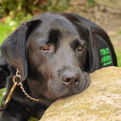 En psykisk hälsa-hund eller servicehund måste bekostas själv av den sökande. Du kan bidra och berika med en trogen följeslagare! Bilden visar en svart labrador med assistanshundtäcke.