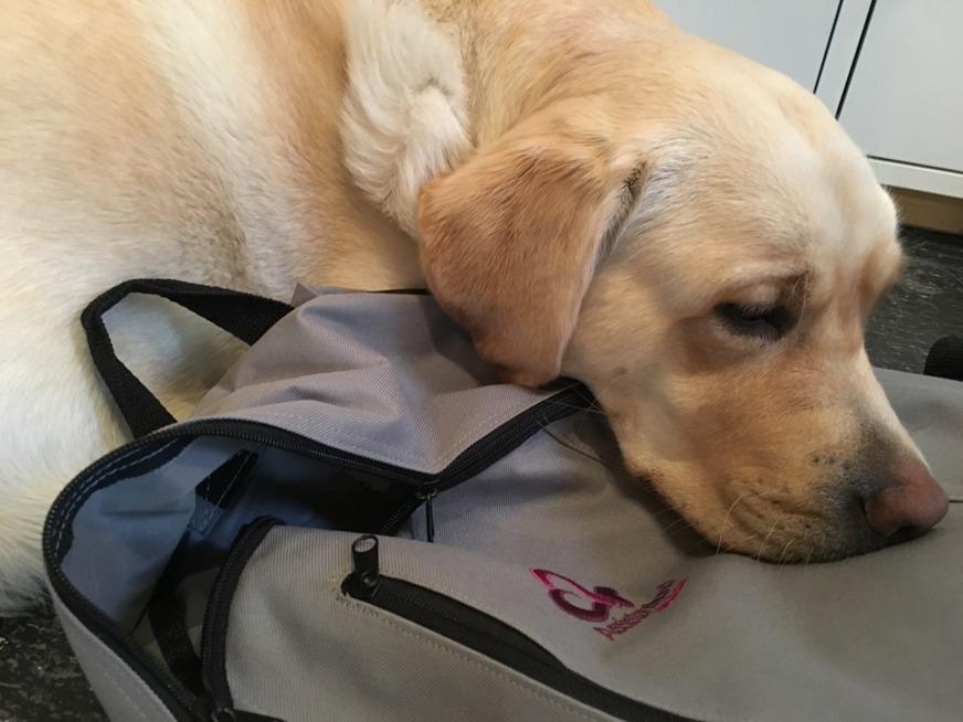 Servicehund i väntan på arbete.