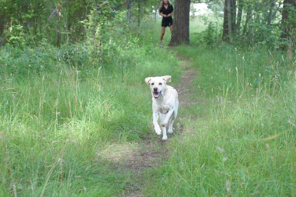 Vi vill ha en hund som springer till oss, inte ifrån oss. Här en gul labbe som springer i skogen i kurragömmalek med matte.