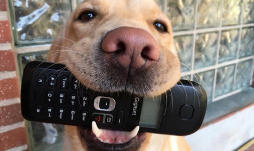 Rådgivning per telefon hos DISA. Gul labbe håller telefonen i munnen.