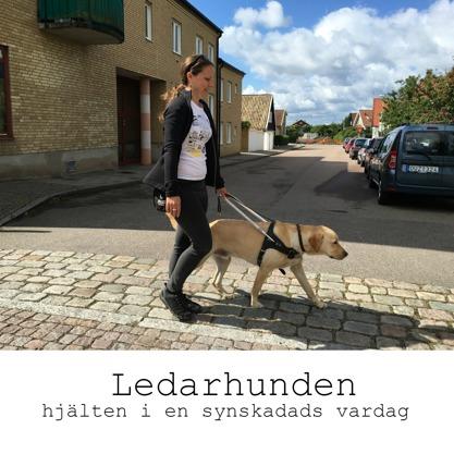 Ledarhunden - hjälten i en synskadads vardag. På bilden leder en gul labbe en tjej över en gata.