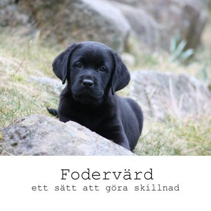 Fodervärd - ett sätt att göra skillnad. På bilden en svart labradorvalp som tittar fram bakom en sten.