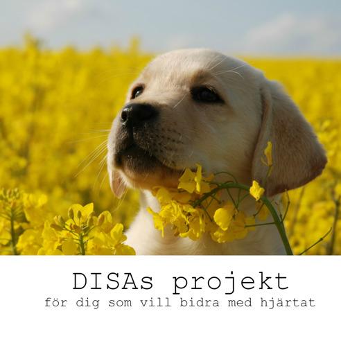 DISA´s hundfond - Så att du både kan bidra & följa en assistanshund. För dig som vill bidra med hjärtat. Gul labradorvalp kikar fram i blommande rapsfält.
