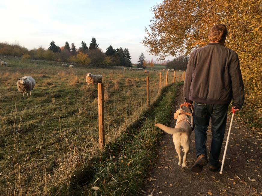 En ledarhund ger föraren ett självständigt liv. På bilden syns en gul labrador med sin förare. De promenerar i naturen förbi en hage med får i.
