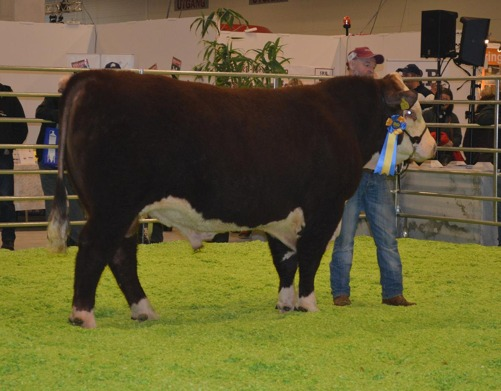 Bårarps Memphis, 2 years old, won his class and was later named Reserve Grand Champion