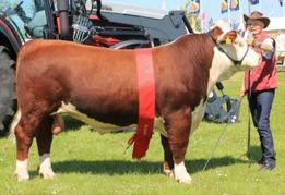 Bondes 1 Gilbert. Junior och Grand Champion tjur, Landskuet i Herning, Danmark. Sperma finns att köpa hos Viking Genetics.
