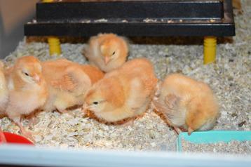 Våra kycklingar 4 dagar gammal. 1494 Gertrud är mamman.
