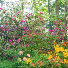 Rhododendron und Azalee im Park