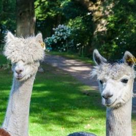 Alpackor, ponnys och getter i parken