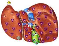 Exempel: lever och gallblåsa skannade och markörer visar belastning både lever och gallblåsa.