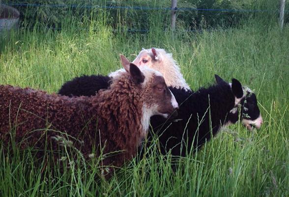 Tre klövsjölamm födda i en och samma besättning där två har samma mamma visar verkligen vilken variation det kan vara mellan olika individer.
