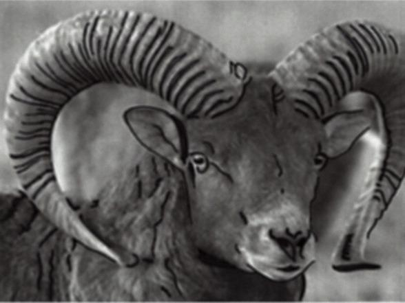 En mufflonbagge på spänn och spaning med sina fantastiska horn som ramar in ansiktet.