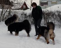 Jane med Tibetanska mastiffer