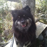 Aitic (finsk lapphund)