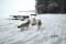 Isländska fårhundar