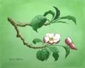 Målning/Painting: Äppelblom/Apple Blossom