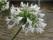 Afrikas lilja