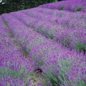 Ett böljande lavendelfält i Provence!