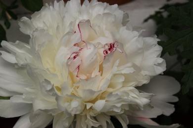 Finns det en ljuvligare blomma?  Pioner i olika färger....De här är tagen i mitten på juni.