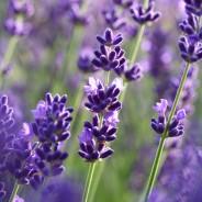 Lavendeldoft så ljuvliga!