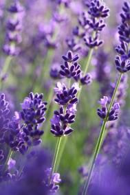 Lavendeldoft så ljuvliga! -