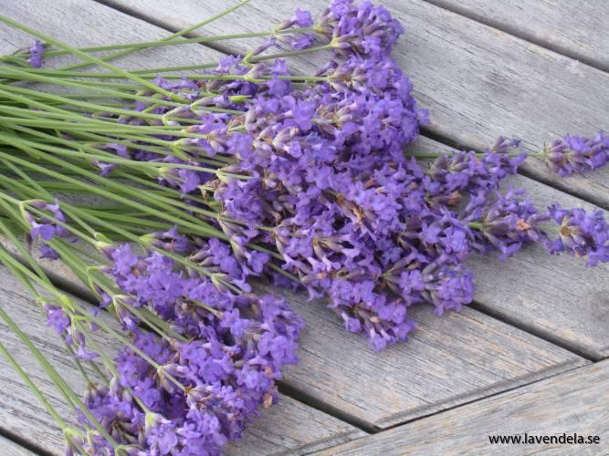 Lavendelblommor