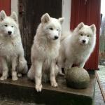 Björn, Haskii och Telli