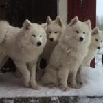 Haskii, Björn, Telli, Ami