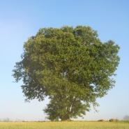 Vessigebro_träd
