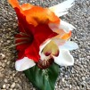 Hårblomma röd/ orange kollibri
