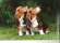 Det här är två av våra uppfödningar av Artesiénner Onni och Pepper. På denna bild var de valpar. Två härliga hundar som också blev våra sista.