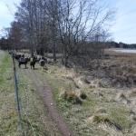 Det finns många får på Fårö.