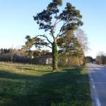 Ett träd på Gotland.