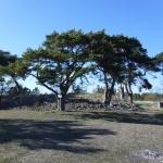 Träd på Gotland.