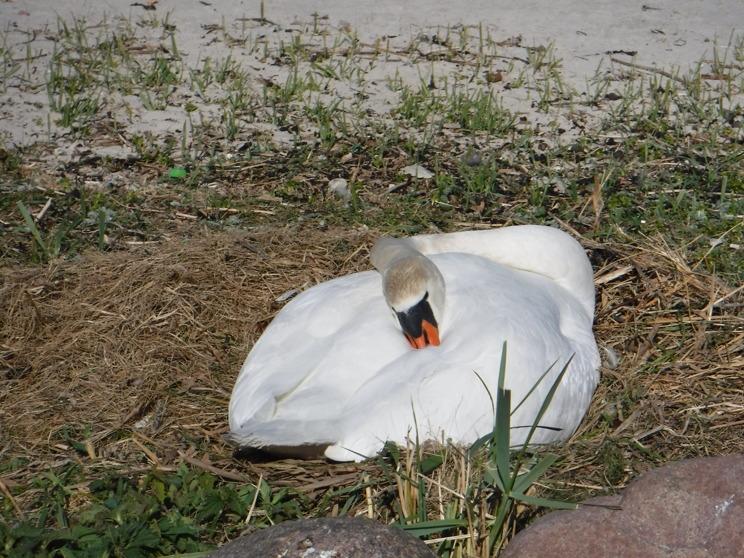 En svan i Simrishamn.