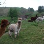 På Ven finns det några alpackor.